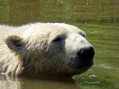 IMG_0068 (duncansmith50) Tags: yorkshirewildlifepark lions polar bears black rhino tigers giraffes doncaster