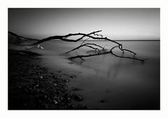 gnarled tree (ddaugenblick) Tags: ostsee baltic sea bw sw baum tree
