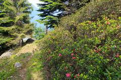 il Viale (Roveclimb) Tags: montagna mountain alps alpi muncech escursionismo hiking trekking casenda paiedo berlinghera zania forcelladellazania valmilano altolario valchiavenna sorico forest foresta wood bosco nature natura flower fiore rododendro spring primavera fioritura rhododendron
