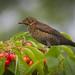 Not-yet-blackbird
