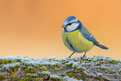 blue tit (leonardo manetti) Tags: bird nature red winter colours naturephotography field natural nikkor countryside green morning black blue tit uccello wood forest nikon d850