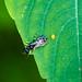 Crabronid wasp
