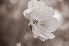 Cosmos on a windy day! (Thelma Gatuzzo) Tags: bokeh spring fiore pink flora outdoor blossom flower thelmagatuzzo© flores flor bloom cosmos fleur 2017