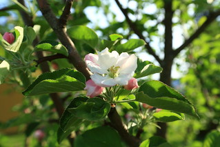 Apple trees in blossom_2018_05_23_0003