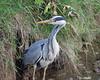 Grey Heron (Ardea cinerea) - Seaton Wetlands, Seaton, Devon - 3 June 2018 (Dis da fi we) Tags: grey heron ardea cinerea seaton wetlands devon