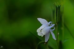 flower 1533 (kaifudo) Tags: sapporo hokkaido japan flower columbine 北海道 札幌 コランバイン オダマキ 糸繰草 苧環 イトクリソウ nikon d810 sigmaapomacro150mmf28 sigma 150mm macro