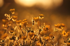 oro al tramonto (SimonaPolp) Tags: gold buttercup bokeh light flowers spring april nature sunset