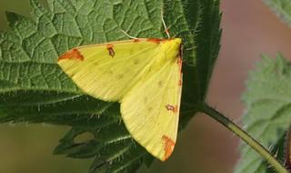 Brimstone Moth (Opisthograptis luteolata) 220518  (2)