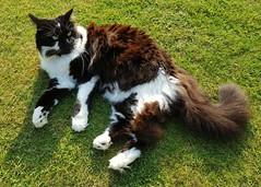 Panda (Stuart Axe) Tags: panda cat blackandwhitecat kitty feline pet pets cats moggie