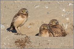 Young Burrowing Owls 6370 (maguire33@verizon.net) Tags: bird burrowingowl owl owlet siblings wildlife