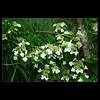 DSC00325 (leeyu_flickr) Tags: 生活 陽明山 花 樹 白 植物 flower tree 華八仙 葉對生 邊緣有刺 黃色花 白色花萼 白蝴蝶