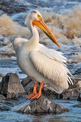 _DSC8417.jpg (MyKeyC) Tags: americanwhitepelican pelican white pelecanuserythynchos posing breeding missymandel pelicans ilanablock minnesota