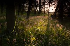 Spring Dawn at Oldmoor Wood (Julian Barker) Tags: oldmoor wood strelley nottingham nottinghamshire east midlands england great britain uk europe bluebells woodland backlighting light arrangement composition julian barker canon dslr 5d mkii