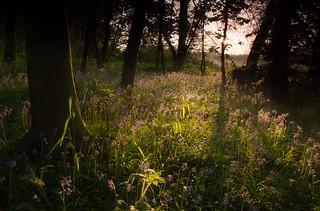 Spring Dawn at Oldmoor Wood