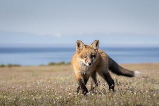 A97I6810-Red Fox Kit