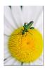 Oedemera nobilis (Oedémère noble)  Ordre : Coléoptères (Des.Nam) Tags: couleur macro paquerette d800 105mmf28 nature insecte fleur jaune vert