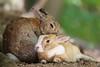 healing (Teruhide Tomori) Tags: rabbit wild animal ohkunojimaisland hiroshima takehara japan japon ウサギ アナウサギ 大久野島 広島 竹原 瀬戸内海 setoinlandsea 動物 野生 nature 自然