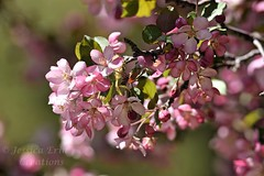 Confederation Park Fotor 05 19 18 (12)_FotorR (jessica.rohrbacher) Tags: spring blossom blooms flowers trees seasons calgary alberta canada