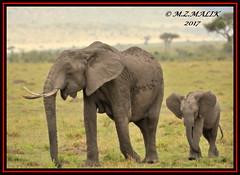 FEMALE AFRICAN ELEPHANT WITH CALF (Loxodonta africana)....MASAI MARA....SEPT 2017 (M Z Malik) Tags: nikon d3x 200400mm14afs kenya africa safari wildlife masaimara keekoroklodge exoticafricanwildlife elephants ngc npc