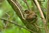 Wren fledglings (david.england18) Tags: wrenfledglings fledglings smallbirds queensparkheywood hedge kingfishers canon7dmkll canonef300mmf4lisusm birdsuk