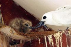 Gygis alba (Fairy Tern) - Seychelles (Nick Dean1) Tags: gygisalba charadriiformes fairytern tern seabird thewonderfulworldofbirds birdperfect birdwatcher seychelles indianocean africa