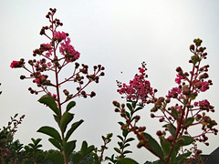 Pink Blossoms Cloudy Sky. (dccradio) Tags: lumberton nc northcarolina robesoncounty outdoors outdoor outside nature natural plant tree crapemyrtle crepemyrtle flowering floweringtree blossom bloom blooming blossoming pink flower floral flowers blossoms leaf leaves greenery foliage summerplant friday morning fridaymorning goodmorning canon powershot elph 520hs cloudy overcast sky