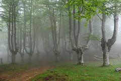 Egiriñao (Paulo Etxeberria) Tags: egiriñao pagadia hayedo beechforest hêtraie lainoa niebla brouillard fog gorbeialdea gorbeiakonaturaparkea parquenaturaldegorbeia udaberria primavera spring printemps