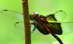 Widow Skimmer Extreme Close Up (Eat With Your Eyez) Tags: macro widow skimmer dragonfly insect bug nature animal