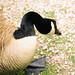goose neck