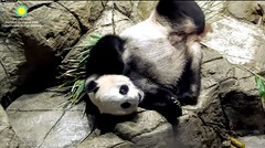 2018_06-10d (gkoo19681) Tags: meixiang beautifulmama sopretty proudmama adorableears feetsies fuzzywuzzy beautifuleyes naptime comfy adorable toocute contentment precious perfection amazing ccncby nationalzoo