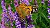 Belle-Dame (bernard.bonifassi) Tags: bb088 06 alpesmaritimes juin 2018 counteadenissa canonsx60 insecte macro papillon