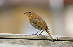 On The Fence...... (law_keven) Tags: robins robin gardens garden avian catford london england wildlife wildlifephotography photography gardenbirds babyrobinredbreast fledglingrobin