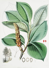 Campbell's magnolia (Magnolia Campbellii), Fruiting plant in foliage from Illustrations of Himalayan plants (1855) by W. H. (Walter Hood) Fitch (1817-1892). (Free Public Domain Illustrations by rawpixel) Tags: illustration otherkeywords antique botany campbellsmagnolia cc0 creativecommon0 creativecommons0 fitch floweringplants fruitingplantinfoliage garden handdrawing handdrawn himalayan illustrations illustrationsofhimalayanplants leaf leave magnolia magnoliacampbellii nature old plant plants publicdomain sketch vintage whwalterhoodfitch whfitch walterhood