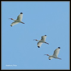 Ibis in Flight (todd5524) Tags: ibis birds nature photography photoshop amazing flock composition sky nikon coolpix outdoors watching flight flying soaring