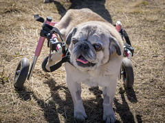 Wheelchair Pug #2 (DGC Photography.ca) Tags: dogs pug pugs dogpark doginstroller handicapped wheelchair petwheelchair dougcallow dgcphotographyca disabled littledoglaughedstories