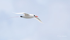Elegant Flier 2 (Rick Derevan) Tags: phaethonrubricauda seabird tropicbird redtailedtropicbird kauai hawaii bif flight flying wings wingspread red kilaueapoint pacific pacificocean
