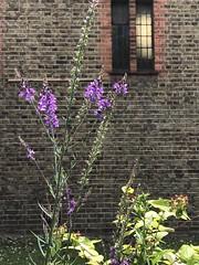 The side wall of a church (Hayashina) Tags: window flower plant church wall london