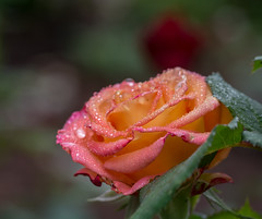 Weather Scene. (Omygodtom) Tags: weather dusk natur raindrop waterdrops rose flora flower flure tamron natural scene scenic senery