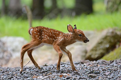 Fawn (av8s) Tags: whitetaileddeer deer fawn nature wildlife pennsylvania pa photography nikon d7100 sigma 120400mm