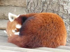 P1020192 (Alysse.C) Tags: animal pandaroux redpanda pairidaiza