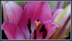 Flower    Lírio (Jmal,) Tags: jmal flower lírio amor gota drop goutte pretty pink tuesday tropfen pétala petal blumenblatt pétale rosa rose flor blüme fleur kodak c743 macro makro close closeup closer moldura de foto