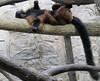 Lemur (long tail)! (heights.18145) Tags: visitthezoo national zoo washingtondc animals pandas fun cute bamboo beibei tiantian meixiang