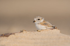 Piping Plover Chick (nikunj.m.patel) Tags: pipingplover chick nature wild wildlife birds bird migration nikon naturephotography shorebird beach nesting outdoor