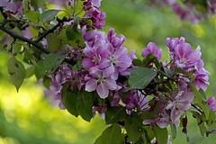 Blossoms (Poupetta) Tags: helsinki esplanade
