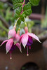 IMG_9849 (armadil) Tags: backyard flower flowers fuchsia