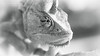 On the Hunting (Thomas TRENZ) Tags: blick chamaeleo jagd jemenchamäleon nikon reptile tamron thomastrenz veiled view auge black bright bw calyptratus eye hell hunting jemen macro makro male schwarz sw weiss white