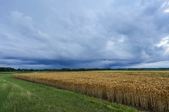 Amber waves of grain & storm clouds. (DT's Photo Site - Anderson S.C.) Tags: canon 6d 1740mml lens pendletonsc andersonsc southcarolina upstate rural farm grain storm clouds cumulonimbus rain wind barley crop hay southernlife scenic southern america usa landscape classic
