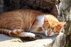 Dubronik Cat (ncs1984) Tags: dubrovnik cat kitty croatia europe eu canon 6d travel animal mammal sleeping sleepy asleep sleep ginger croatian