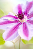 Clematis off centre (photoart33) Tags: centre may clematis pink
