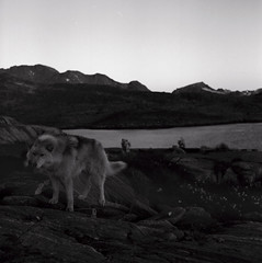 Kuummiit sled dogs (Úlfur Björnsson) Tags: bw black white kuummiit greenland film ilford hp5 plus 400 iso medium format 120 mamiya c220 80mm f28 sekor monochrome evening dusk sunset dog dogs sled